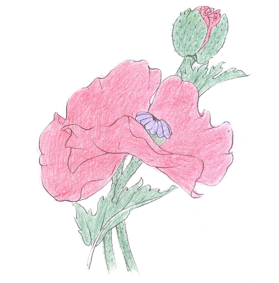 Red poppy for Poppy drawing step by step