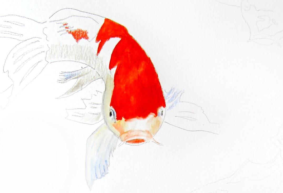 how to colour koi fish with albrecht dürer magnus